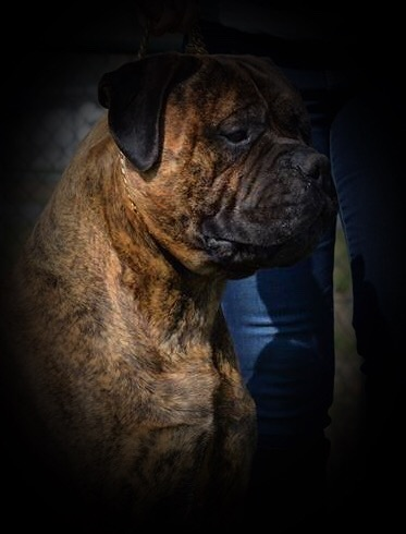 Valcobulls Guilty as Charged brindle bullmastiff