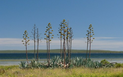 Bloeiende agaves in het park Costa Vicentina
